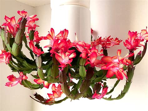christmas cactus light requirements christmas lights