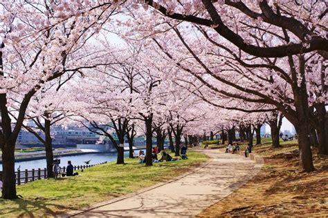 japanese blossom tree how to grow a japanese cherry blossom tree from seed ebay