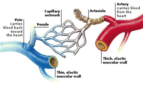 diagram of the blood vessels circulatory system