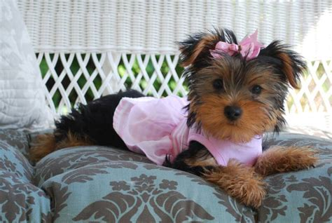 how to a yorkie to come ajjls yorkies yorkie puppies for sale