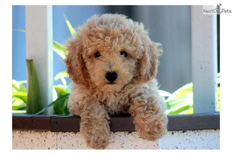 bichpoo puppies meet a poo bichpoo puppy for sale for 450 bichpoo