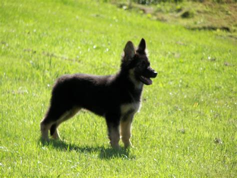 german shepherd puppys for sale german shepherd puppies for sale bridgend bridgend pets4homes