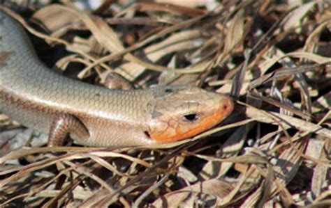 rattlesnake education and awareness american 5 lined skink