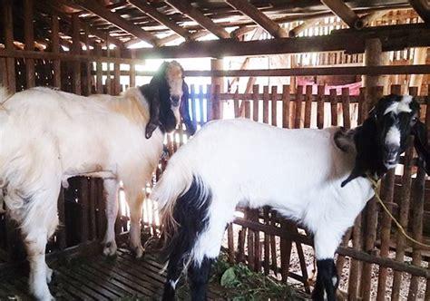 Obat Fermentasi Pakan Ternak Kambing ternak kambing obat tradisional untuk ternak kambing 12