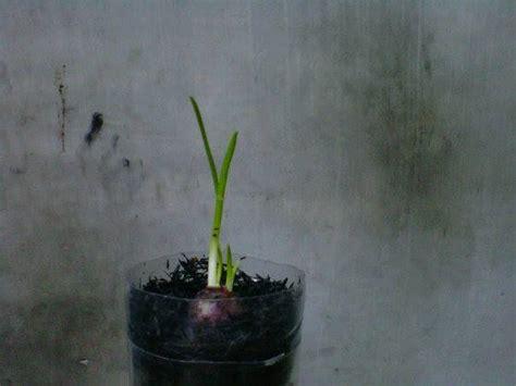Benih Bawang Merah Hari Ini pertumbuhan tanaman bawang merah hidroponik ku hari ini
