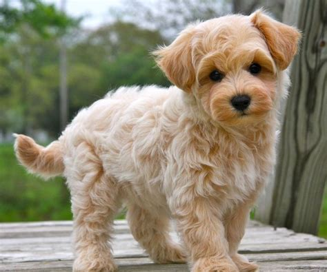 apricot maltipoo puppies for sale 25 best ideas about maltipoo puppies on maltipoo maltipoo and teddy