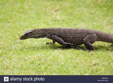 bid malaysia big monitor lizard varan walking on grass malaysia stock
