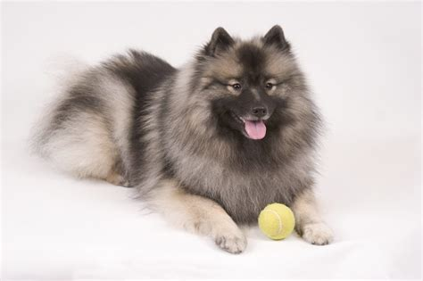 keeshond dogs the keeshond beautiful and intelligent wagbrag