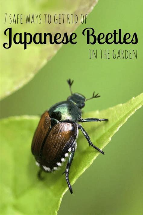 ways to get rid of pests in garden 7 safe ways to get rid of japanese beetles in the garden