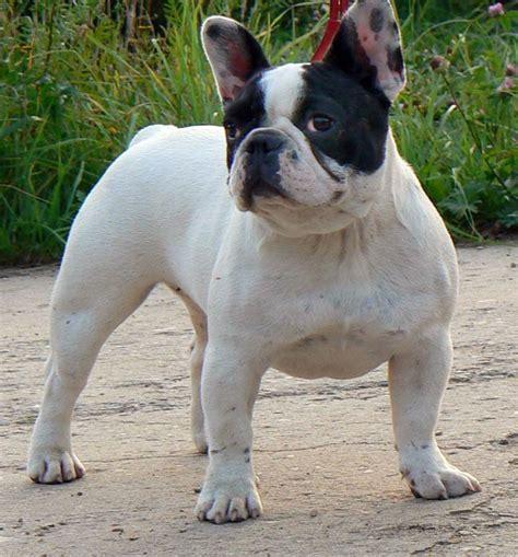 bull frances bulldog franc 234 s ra 231 as de c 227 es molosoides mascote