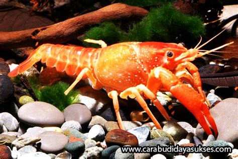 Jual Bibit Lobster Air Tawar cara budidaya lobster air tawar jual bibit ikan air tawar