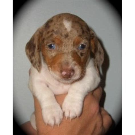 free puppies in indianapolis dachshund doxie breeders in indiana freedoglistings