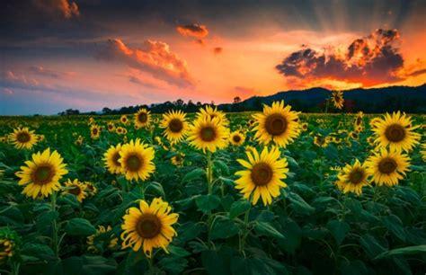 sun flower garden 21 pictures of sunflower