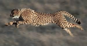 How Do Jaguars Adapt To Their Environment Adaptations Cheetah