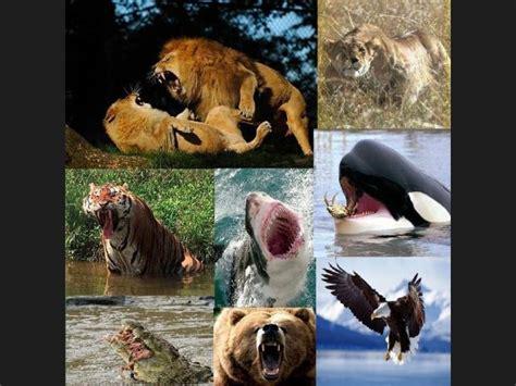 imagenes leones vs tiburones ranking de humano vs leon vs tigre vs leona vs oso vs