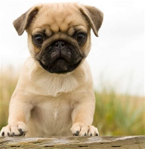 pug breeders sa 17 best images about pugs on puppys adorable animals and pug puppies