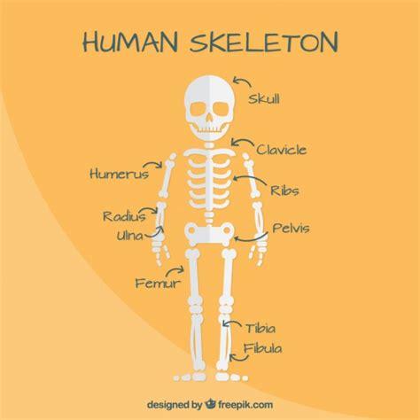 skeleton layout exles costilla fotos y vectores gratis