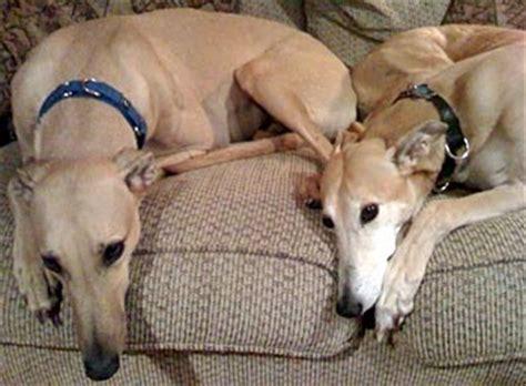 greyhound rescue greyhound adoption league of inc