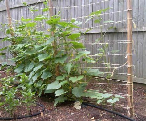 Vertical Cucumber Garden Vertical Cucumbers Simple And Inexpensive Way To Trellis