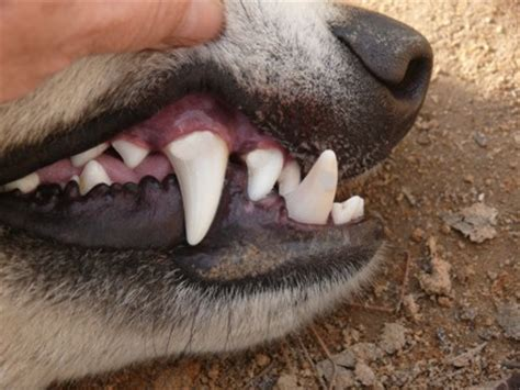 puppy teeth vs teeth felines vs canines who would win