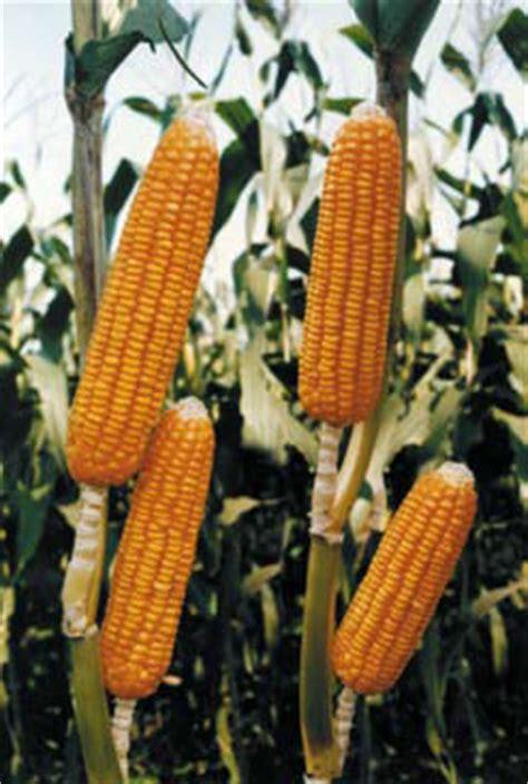 Bibit Jagung Hibrida Bisi 222 cara budidaya beberapa varietas benih jagung hibrida pilihan