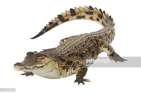 krokodil images crocodile stock photos and pictures getty images