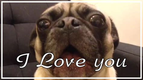 you pug pug saying i you pug vines