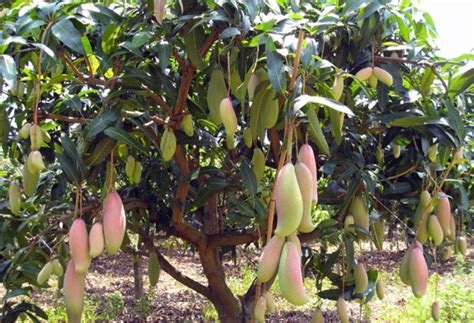 Harga Bibit Rambutan Cangkok tips cara menanam mangga agar cepat berbuah bibit