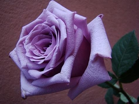 viola significato fiore rosa viola significato significato dei fiori rosa