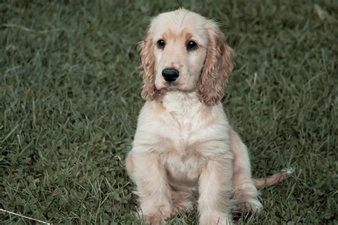 how much are cocker spaniel puppies how much does a cocker spaniel cost howmuchisit org