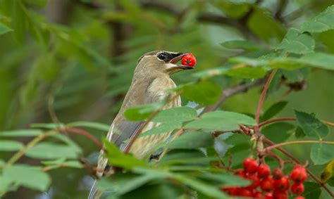 fruit birds s birding fruit birds