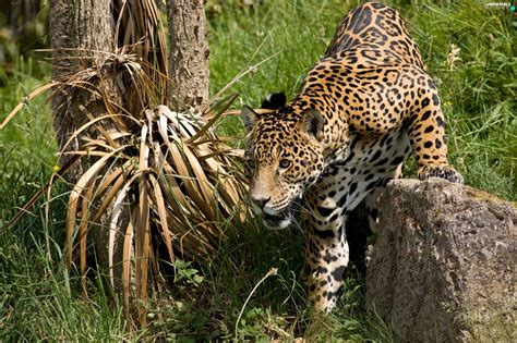 hunting jaguar stone animals wallpapers