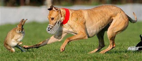 puppy race racing in vung tau news vietnamnet
