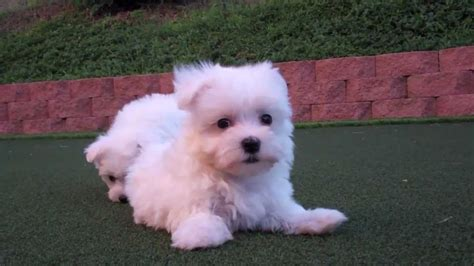 teacup maltese puppies for adoption teacup maltese puppies for adoption image 1 breeds picture