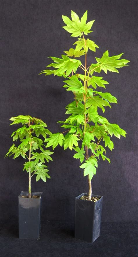 acer circinatum vine maple band pot brooks tree farm