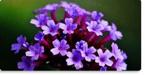 vervain fiori di bach vervain fiore di bach per chi idee ben radicate non