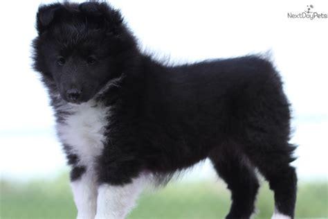 sheltie puppies for sale in iowa shetland sheepdog sheltie puppy for sale near des moines iowa 2e2ecf27 dea1