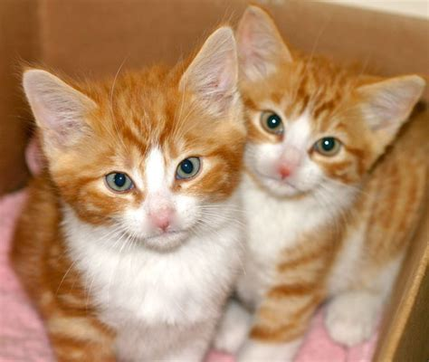 twin cats kitten twins pet samaritans