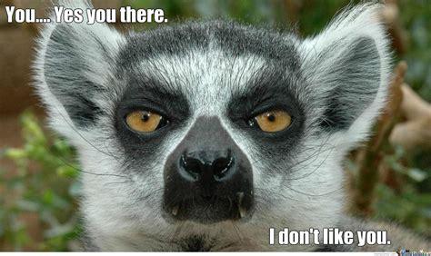 Lemur Meme - lemur is not amused by recyclebin meme center