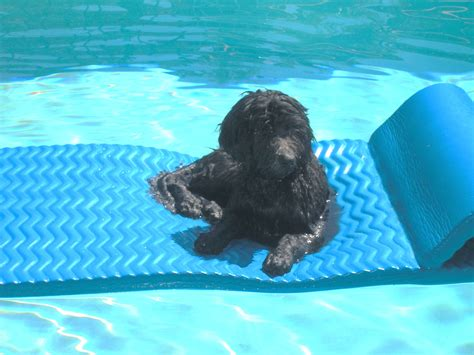 puppies swimming image gallery swimming puppies