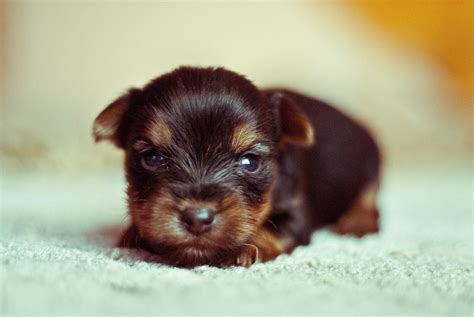 yorkie baby puppies puppy development from birth to 12 weeks