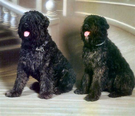 bouvier des flandres puppies the gallery for gt bouvier des flandres