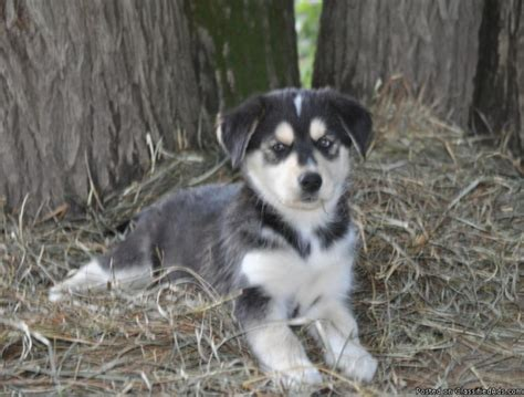 puppies for sale wisconsin goberian puppies for sale price 25000 in baraboo wisconsin breeds picture
