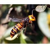 Asian Giant Hornet V Tarantula Hawk