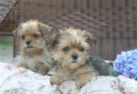 shorkie puppies for sale in michigan shorkie puppies ready to go now for sale in ludington michigan classified