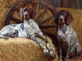 bluetick coonhound in the hayloft photo and wallpaper