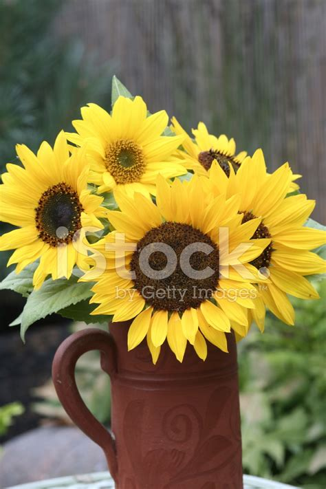 Sunflowers In Vase by Sunflowers In A Vase Stock Photos Freeimages