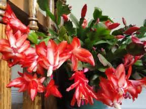 Christmas cactus northerngardens