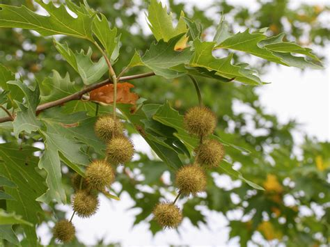 buy chennar tree trees platanus orientalis minaret