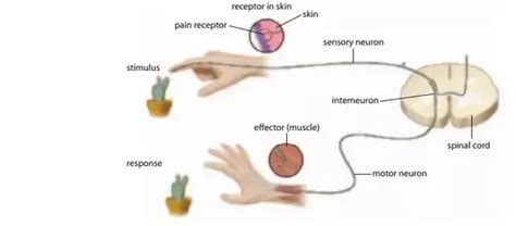 sensory motor and mixed nerves what types of nerves are present in a human quora